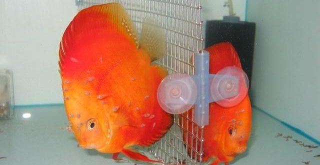 پرورش ماهیان زینتی؛ صنعتی نوپا با سودی سرشار